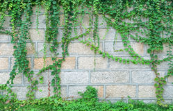 Japanese creeper Royalty Free Stock Photos