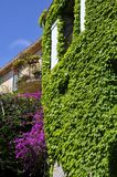 Japanese creeper climbing up a facade Stock Photo