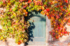 Japanese creeper and old door with bolt Royalty Free Stock Photos