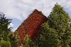 Japanese creeper, Woodbine, Germany Stock Images