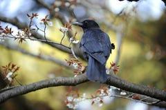 Japanese crow, cherry blossom season. A crow in a Kyoto park during sakura, or Japanese cherry blossom season Royalty Free Stock Image