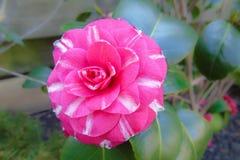 Japanese cultivar of pink Camellia japonica flower. royalty free stock images