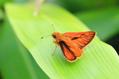 Japanese Dart butterfly Stock Photo