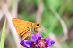 Japanese Dart butterfly Stock Images
