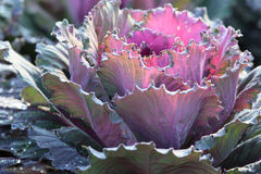 Japanese decorative cabbage. Decorative cabbage in garden with dew drops Royalty Free Stock Photos