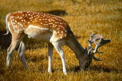Japanese deer Stock Images