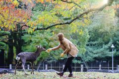 Japanese deer eating grass with red maple leaves tree on autumn season as background stock images