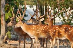 Japanese deer royalty free stock photo