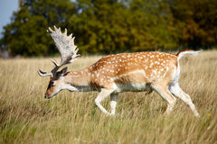 Japanese deer on a meadow Royalty Free Stock Photos