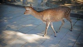 Japanese deer in Nara national park Royalty Free Stock Photography
