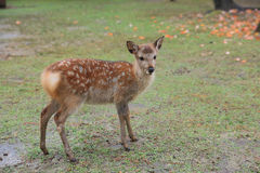 japanese deer in Nara national park in Autumn Royalty Free Stock Photo