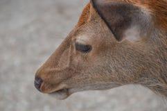 Japanese Deer At Nara Park Japan.  royalty free stock photo