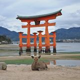 Japanese deer and red sacred Miyajima gate in Hiroshima Japan Stock Images