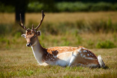 Japanese deer sleepeng on a meadow Royalty Free Stock Photos