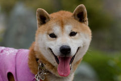 Japanese dog Royalty Free Stock Images