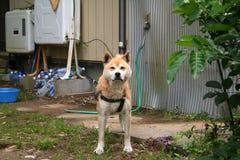 Japanese dog Royalty Free Stock Photo