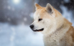 Japanese Dog Akita Inu in the forest Stock Photos
