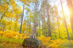 Japanese Dog Akita Inu puppy in autumn forest. Funny Japanese Dog Akita Inu puppy in autumn forest royalty free stock image