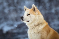 Japanese Dog Akita Inu. Winter Portrait royalty free stock photo
