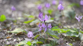 Japanese dog's tooth violet flowers,in Showa Kinen Park,Tokyo,Japan Royalty Free Stock Images