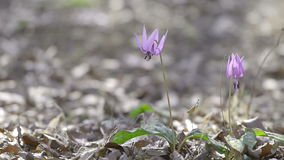 Japanese dog's tooth violet flowers,in Showa Kinen Park,Tokyo,Japan stock video