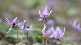 Japanese dog's tooth violet flowers,in Showa Kinen Park,Tokyo,Japan Royalty Free Stock Photography