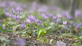 Japanese dog's tooth violet flowers,in Showa Kinen Park,Tokyo,Japan stock video footage