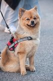 Japanese dog sitting in the street - Akita Inu dog stock images