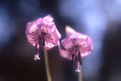 Japanese Dogtooth Violet Stock Image