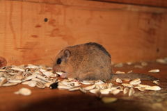 Japanese dormouse Royalty Free Stock Images