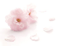 Japanese double flowered cherry blossom isolated Stock Image