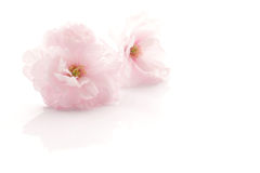 Japanese double flowered cherry blossom isolated  2 Stock Images