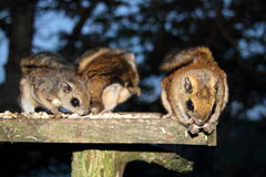 Japanese dwarf flying squirrel stock photo