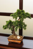 The Japanese dwarfish pine. On a background of a window Stock Photo