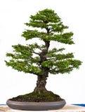 Japanese elm as bonsai tree Stock Photo