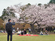 Japanese enjoying cherry blossoms festival in korakuen garden Royalty Free Stock Photos