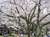 Japanese enjoying Cherry blossoms festival in park Royalty Free Stock Photos