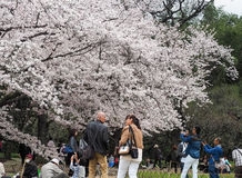 Japanese enjoying Cherry blossoms festival in park Royalty Free Stock Photography
