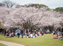 Japanese enjoying Cherry blossoms festival in park Royalty Free Stock Images