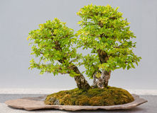 Japanese Evergreen Bonsai on Display stock image