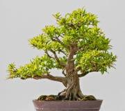 Japanese Evergreen Bonsai on Display royalty free stock image