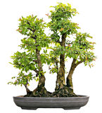 Japanese Evergreen Bonsai on Display Isolated Royalty Free Stock Images