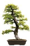 Japanese Evergreen Bonsai at Isolated Royalty Free Stock Photos