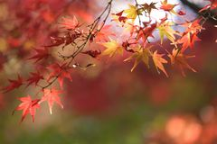 Japanese fall Royalty Free Stock Images