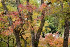 Japanese fall colors Royalty Free Stock Image