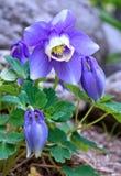 Japanese Fan Columbine Royalty Free Stock Images