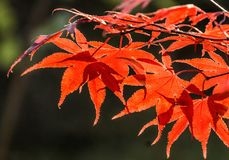 Japanese fan maple acer sp. against the setting autumn sun, cl Royalty Free Stock Photography
