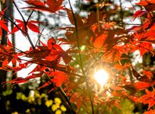 Japanese fan maple acer sp. against the setting autumn sun. royalty free stock photo