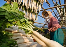 A Japanese farmer hanging daikon radish to dry Stock Images