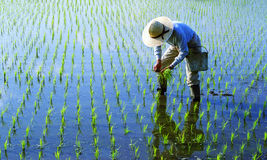 Japanese Farmer Tending The Rice Paddy Stock Photo